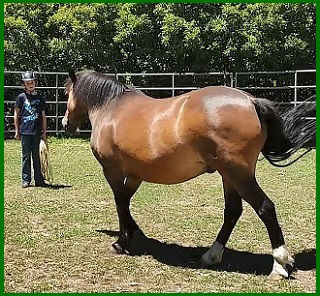 Horse training in the round yard or round pen at About Australia Horsemanship with Norm Glenn